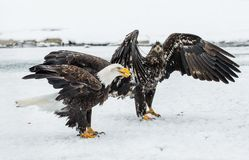 Bald Eagles (HALIAEETUS LEUCOCEPHALUS) fighting Royalty Free Stock Image