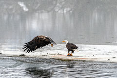 Bald Eagles Haliaeetus leucocephalus fighting for salmon on th Stock Photography