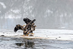 Bald Eagles Haliaeetus leucocephalus fighting for salmon on th Royalty Free Stock Photo