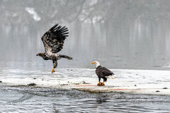Bald Eagles Haliaeetus leucocephalus fighting for salmon on th Stock Photo
