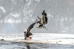 Bald Eagles Haliaeetus leucocephalus fighting for salmon on th Royalty Free Stock Images