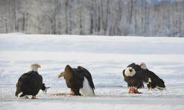 The Bald eagles  ( Haliaeetus leucocephalus ) Royalty Free Stock Photo