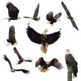 Bald eagles. Bald eagles isolated on the white background Stock Images