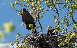Bald Eagles on the Nest Stock Images