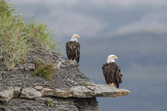 Bald Eagles. A pair of Bald Eagles perching on a rock shelter. Photo taken on August, 2016, Hallo Bay, Alaska Stock Images