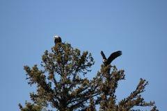 Bald Eagles Royalty Free Stock Photo