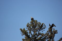 Bald Eagles Royalty Free Stock Image