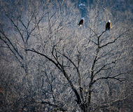 Bald Eagles Perched on Tree Branches Background Royalty Free Stock Images