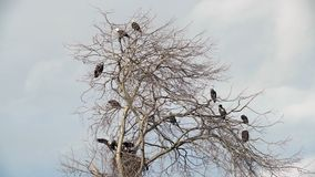 Bald Eagles Perched in a Tree 4K UHD