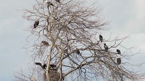 Bald Eagles Perched in a Tree zoom 4K UHD