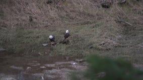 Bald Eagles Feed on Salmon Carcass 4K UHD