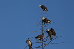 Bald Eagles in a tree Royalty Free Stock Image