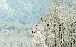 Bald Eagles on trees Stock Photography