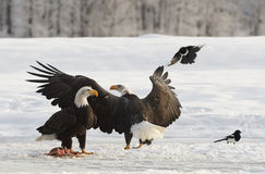 Bald Eagles Stock Photography