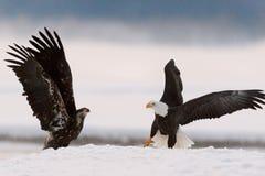 Bald Eagles Stock Photos