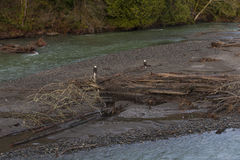 Bald Eagles. Two eagles on the Nooksack River in western Washington state. Spawned out salmon provide nourishment for the eagles during the winter months on this stock images