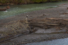 Bald Eagles. Two eagles on the Nooksack River in western Washington state. Spawned out salmon provide nourishment for the eagles during the winter months on this royalty free stock images