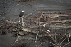 Bald Eagles. Two eagles on the Nooksack River in western Washington state. Spawned out salmon provide nourishment for the eagles during the winter months on this royalty free stock photo