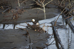 Bald Eagles. Two eagles on the Nooksack River in western Washington state. Spawned out salmon provide nourishment for the eagles during the winter months on this royalty free stock image