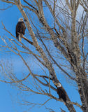 Bald Eagles Royalty Free Stock Image