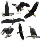 Bald eagles on  white background. Bald eagles set  isolated on  white background Stock Image