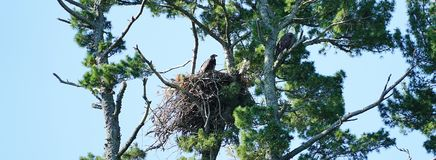 Bald Eaglet & Mom Stock Photos