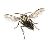 Bald-faced hornet Royalty Free Stock Images