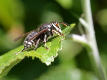 Bald-faced Hornet on a Leaf Stock Images