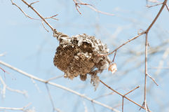 Bald-faced Hornets Hive Stock Photography