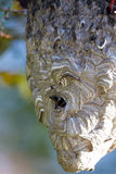 Bald-faced Hornets at their nest at dawn Stock Image