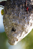 Bald-faced Hornets at their nest at dawn Stock Images