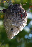 Bald-faced Hornets at their nest at dawn Stock Photography