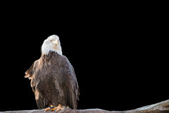 Bald feral eagle perched on a dry branch isolated on black. Stock Image