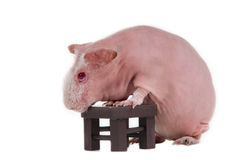 Bald guinea pig with a table Royalty Free Stock Photography