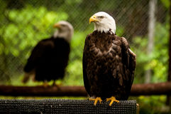 Bald head eagle Royalty Free Stock Photography