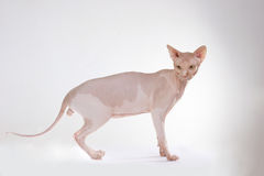 Bald-headed cat Royalty Free Stock Image