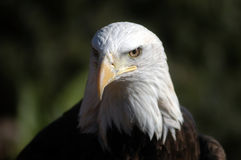 Bald Headed Eagle Royalty Free Stock Photo