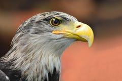 Bald Headed Eagle Royalty Free Stock Photos