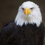 Bald Headed Eagle Stock Photo
