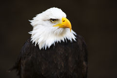 Bald Headed Eagle. Isolated of dark background. Side profile stock photography