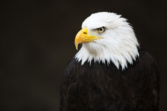 Bald Headed Eagle Royalty Free Stock Image