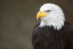Bald Headed Eagle Royalty Free Stock Photography