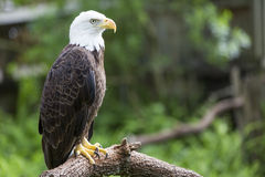 Bald headed eagle Stock Photography