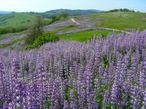 Redwood National Park Spring Lupine Bloom royalty free stock photo