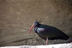 Bald Ibis Stock Image
