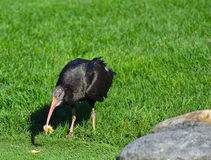 Bald ibis in the meadow Royalty Free Stock Photos