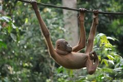 Bald orangutan in Borneo Stock Photography