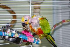 Bald parrot eating millet holding the food with foot. Bald parrot with millet in it`s beak, holding it with it`s foot to eat it. This pet Jenday Conure has been royalty free stock photography