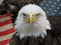 Bald and powerful. Bald eagle confrontation in front of the United States of America flag Stock Images
