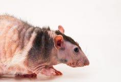 Bald sphinx rat. Stock Images